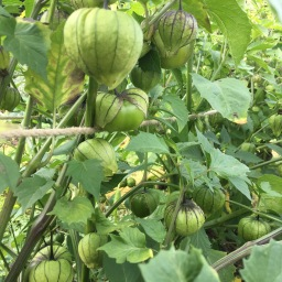 Let's chat Tomatillos.